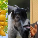Tanzania president angry as pawpaw and goat test positive for coronavirus